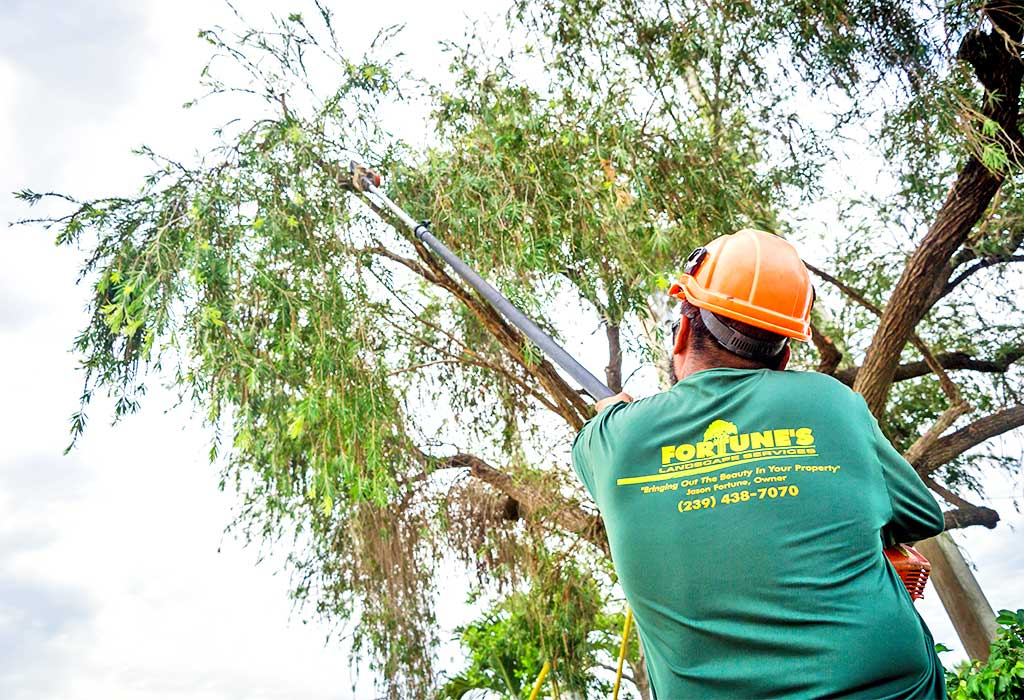 Canopy Raising For Tree Maintenance | Fortune's Lawn, Land & Tree Service Marco Island, FL