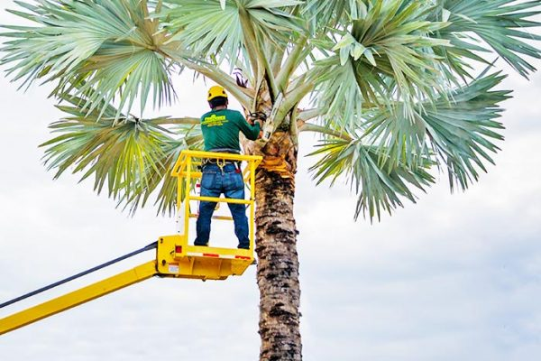 Tree Services By Fortune's Lawn, Land & Tree Service, A Marco Island Landscaping Company