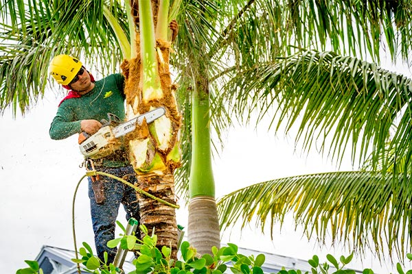 Tree Trimming | Marco Island Tree Services Provided by Fortune's Lawn, Land & Tree Service